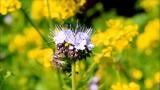 purple tuft flower phacelia  - 222514160