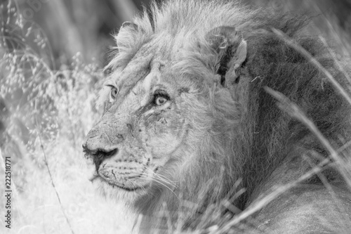 Fototapeta Lion in Chobe National park