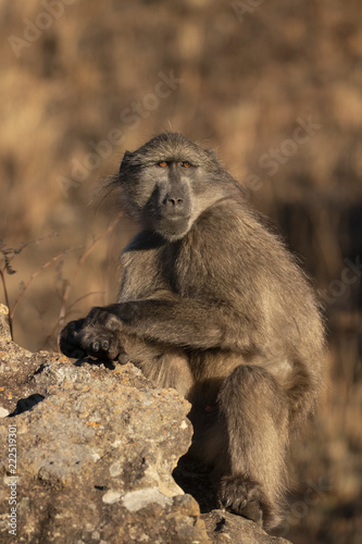 Fridge magnet Baboon in South Africa