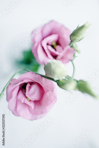 Blush pink mini garden roses on a light background