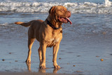 Dogue de Bordeaux by the sea