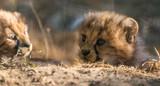 Cheetah (Acinonyx jubatus) - 222557163