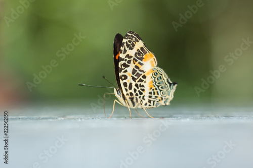 Beautiful Butterfly of Borneo , Closeup butterfly on flower ground , Butterfly of Borneo - 222562150