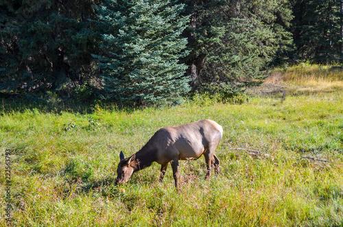 秋のカナディアンロッキー 草を食べる鹿 ーアイスフィールド・パークウェイにて(カナダ・アルバータ州・ジャスパー)