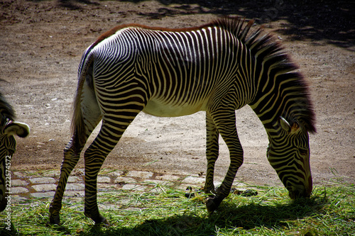 Fototapeta beautiful, but very proud and lonely Zebra