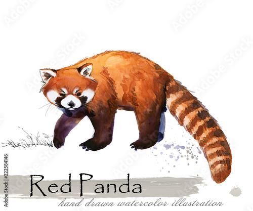Fototapeta Red Panda hand drawn watercolor illustration