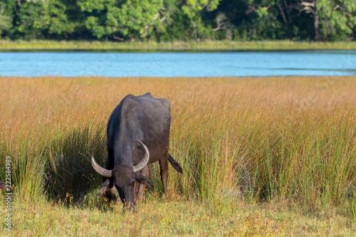Foto Murales Water Buffalo grazing in morning sunlight in Wilpattu National Park in Sri Lanka Asia
