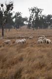 Sheep in an Australian Field - 222590512