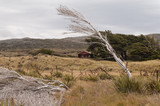 Skeletal, windswept tree in the foreground with a trampers' hut in the middle-ground on Stewart Island, Rakiura, New Zealand. - 222591787
