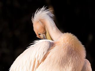 Pelikan in der sonne in zartrosa federkleid