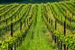 Quadro Vineyards in California, USA