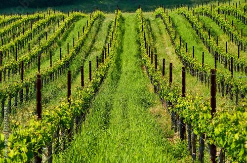 Vineyards in California, USA