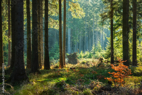 Natural Forest of Spruce Trees in Autumn
