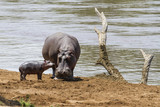 Hippo mother with her baby in the Masai Mara National Park in Kenya - 222637138