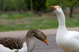 Goose family with cute goslings - 222640166