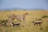 Cheetah with cubs walking in the Masai Mara National Park in Kenya - 222645119