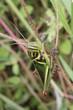 grasshopper on green grass