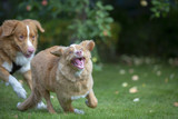 Two tollers playing outdoors. Puppy dog and a older one. The breeds are Nova scotia duck tolling retrievers. - 222659513