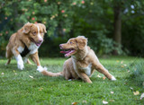Two tollers playing outdoors. Puppy dog and a older one. The breeds are Nova scotia duck tolling retrievers. - 222659524