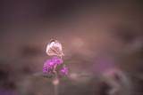 Papillon blanc Piéride du chou