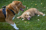 Two tollers playing outdoors. Puppy dog and a older one. The breeds are Nova scotia duck tolling retrievers. - 222659548