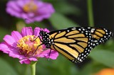 Monarch butterfly on a pink zinnia