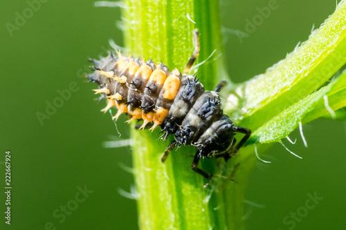 Closeup of larva of asian ladybeetle (Harmonia axyridis)