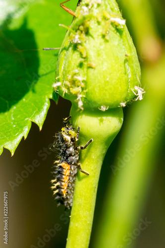 Larva of asian ladybeetle (Harmonia axyridis) feeding on green plant louses on rose bud - 222667975