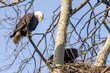 pair of Bald eagles at nest