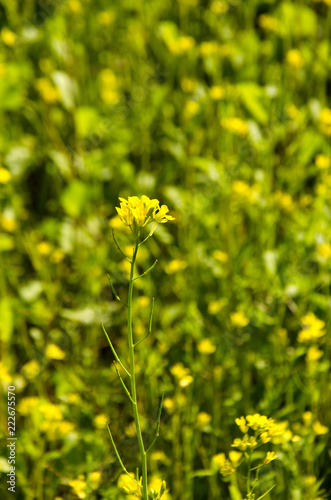 The Growth Of Mustard Yellow Flowers Buy Photos Ap Images