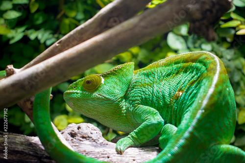 kameleon, gad. zielony,