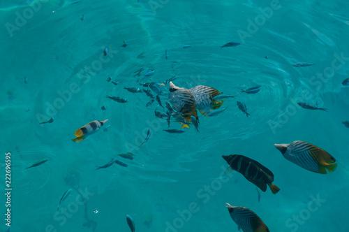 Różne tropikalne ryby rafowe, w tym płetwa nici i podwójne motylki siodłowe, żywienie na powierzchni turkusowej wody.