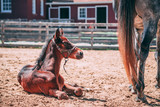 Red Foal - 222732344