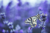 Lavender flowers with buterfly - 222742766