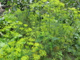 The bushes of fennel growing in the garden. Blooming dill. Inflorescences umbels of dill. - 222744527