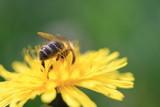 Abeille butine une fleur de pissenlit - 222744973