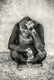 Western lowland gorilla is thinking, colorless - 222754569