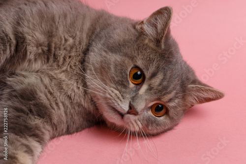 Portrait of cute cat scottish straight in studio with pink background.