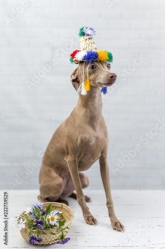 Portrait of little italian greyhound dog.Costume. Hat