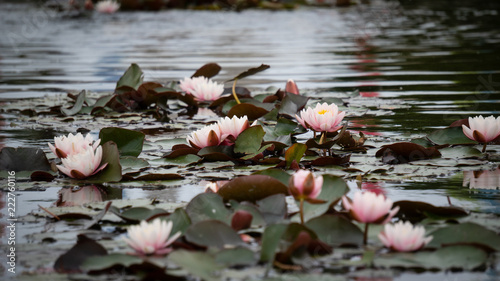 Fototapeta Flowers on the water