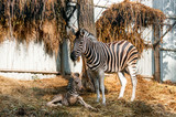 Zebra with a baby resting on the hay - 222760986