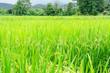 Leinwandbild Motiv green rice field growing in agricultural area, Thailand