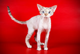 Devon rex cat on colored backgrounds - 222774744