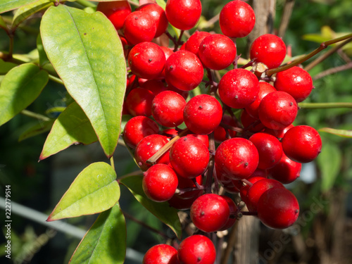Foto Murales Heavenly bamboo berries