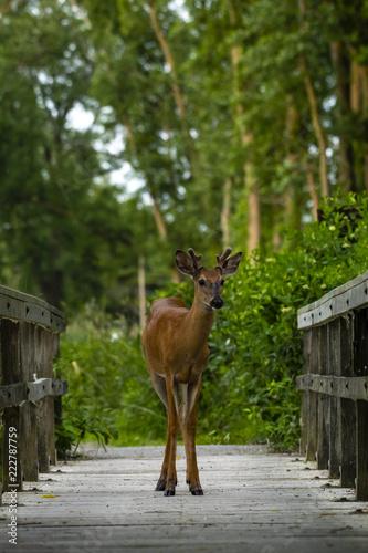 Fototapeta deer in the forest