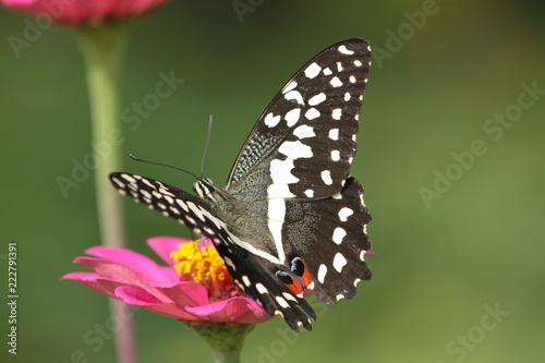 butterfly on flower - 222791391