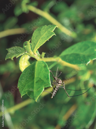 Close up of Aedes Aegypti Mosquito resting on the leaf in garden. Aedes is a genus of mosquitoes transmit serious diseases, including dengue fever, yellow fever, the Zika virus and chikungunya. - 222795943