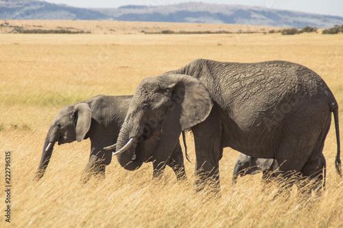 Fototapeta Elephant on Kenyan savannah