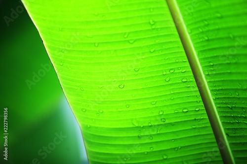 water drop on fresh banana leaf background - 222798356