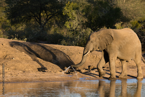 African elephant (Loxodonta africana) at a waterhole spraying water from the trunk in the late afternoon light.